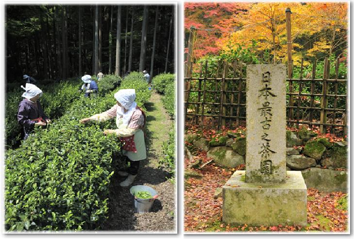 高山寺の日本最古の茶園の画像