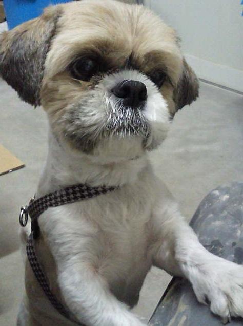シーズー犬ソラの画像