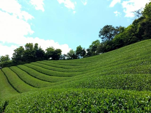 京都の茶畑の画像