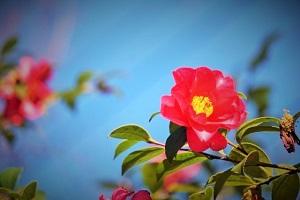 さざんかの花の画像