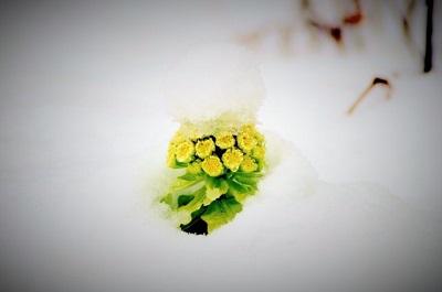 雪の中に咲く、ふきのとうの画像