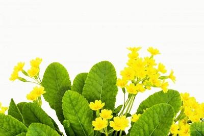 プリムラの花の画像