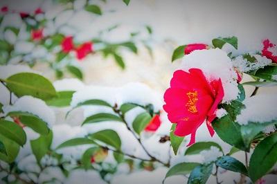 雪の中に咲く椿の画像