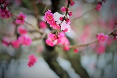 雪のなかに咲く梅の花の画像