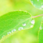 雨水と若葉の画像