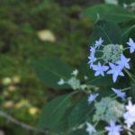 青い額紫陽花の拡大画像